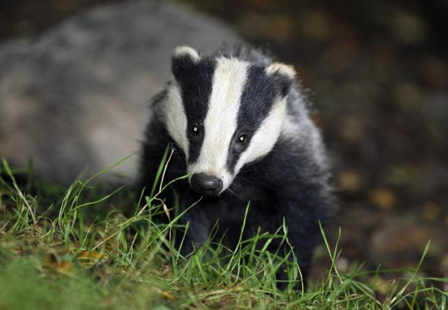 New research shows the badger cull has been a success in the region. 