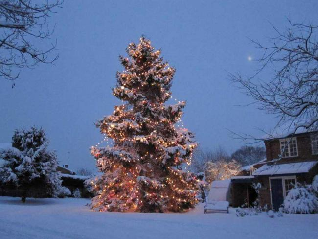 Festive: The Christmas tree was planted as a sapling more than 40 years ago.