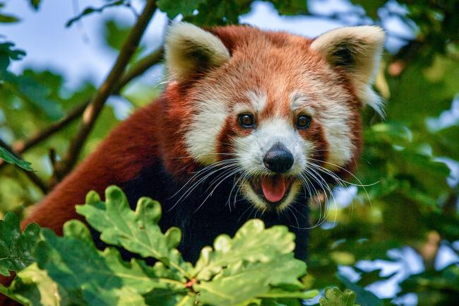 Shifumi the one-year-old female red panda