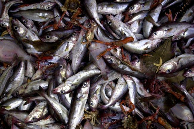 A mixed batch of fish caught off the Scottish East coast