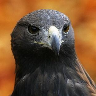A golden eagle has escaped from an aviary in a South Wales village
