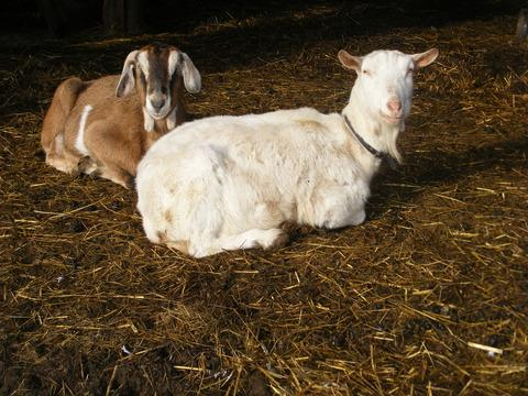 Two of the sanctuary's goats