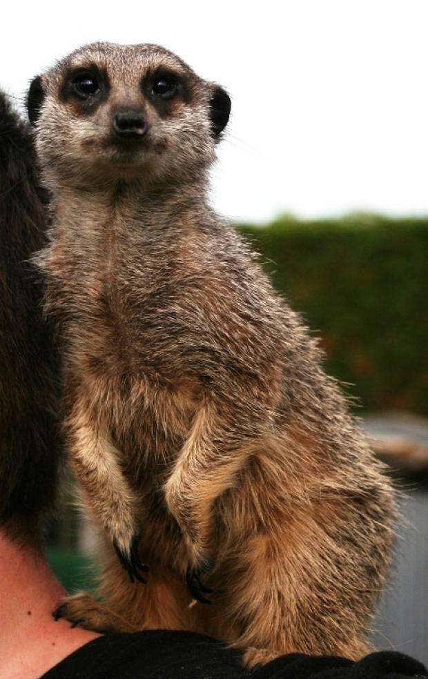 Meet a meerkat at Studley Garden Centre