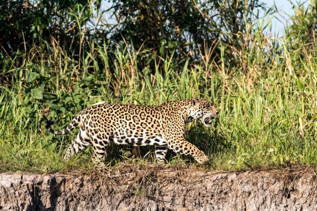 Keeping company with Pantanal's big cats