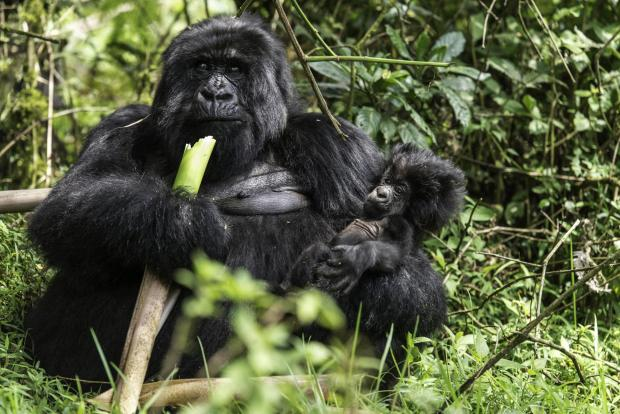 Redditch Advertiser: Ape expectations in Rwanda