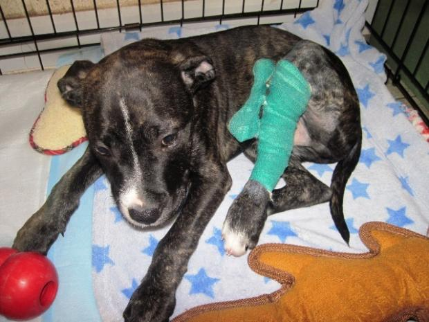 Redditch Advertiser: Puppy Rocky's leg is broken in two places. SP