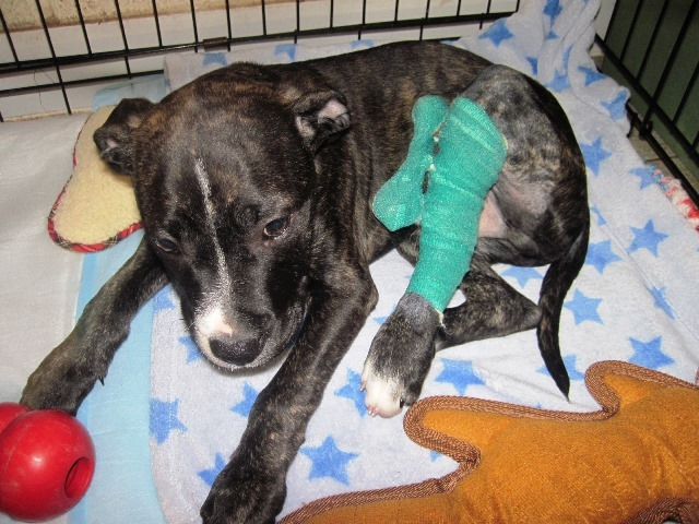 Puppy Rocky's leg is broken in two places. SP