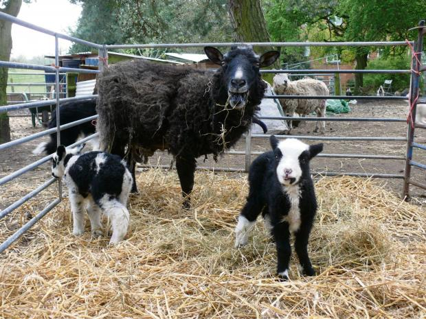 Redditch Advertiser: Proud mum Cardi with lambs Arran and Jersey. SP