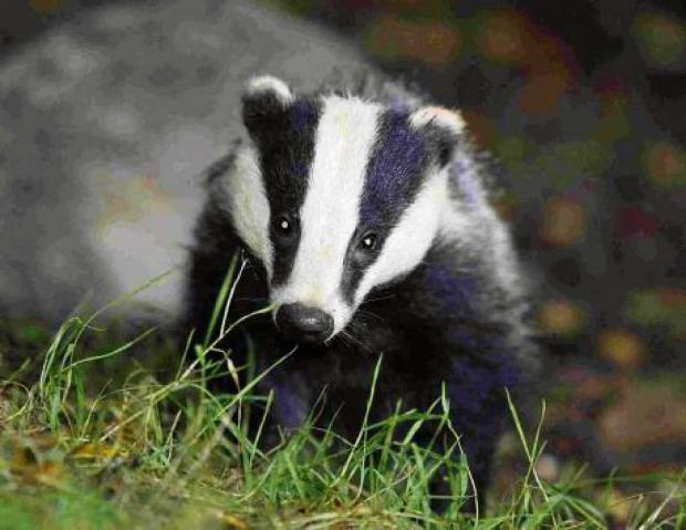 Badger cull protestors call for Worcestershire County Council ban