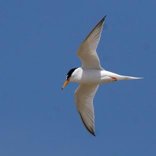 Little terns have been badly affected by recent severe weather conditions, the National Trust has warned (PA/National Trus