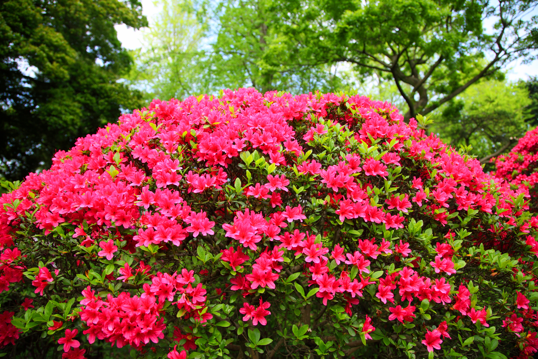 Azaleas are poisonous to cats and dogs. Picture: Hiro_photo_H/ Getty Images