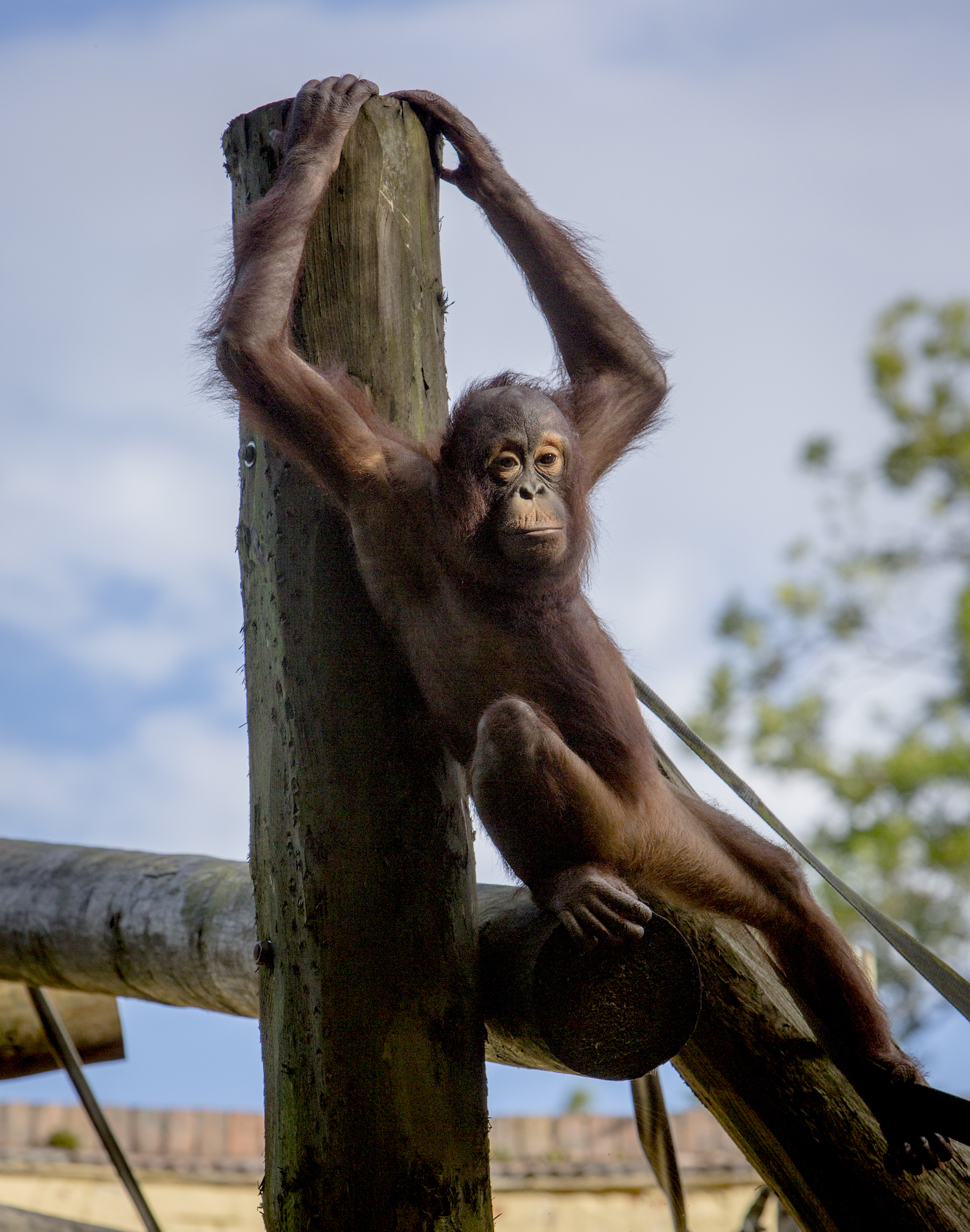 Sprout, the zoo's youngest Bornean orangutan. Photo: Neil Pugh