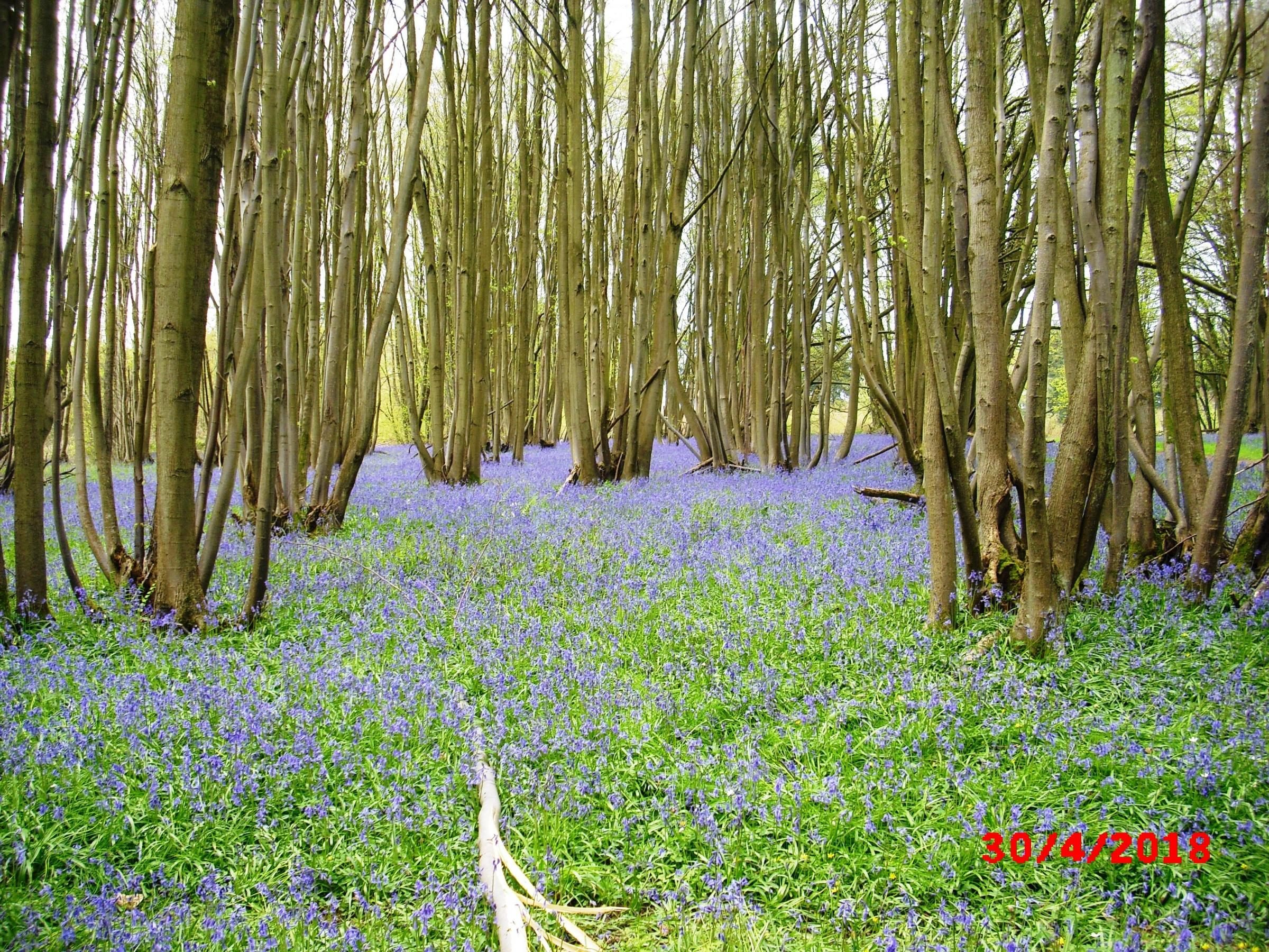 Shrawley Bluebell Walks