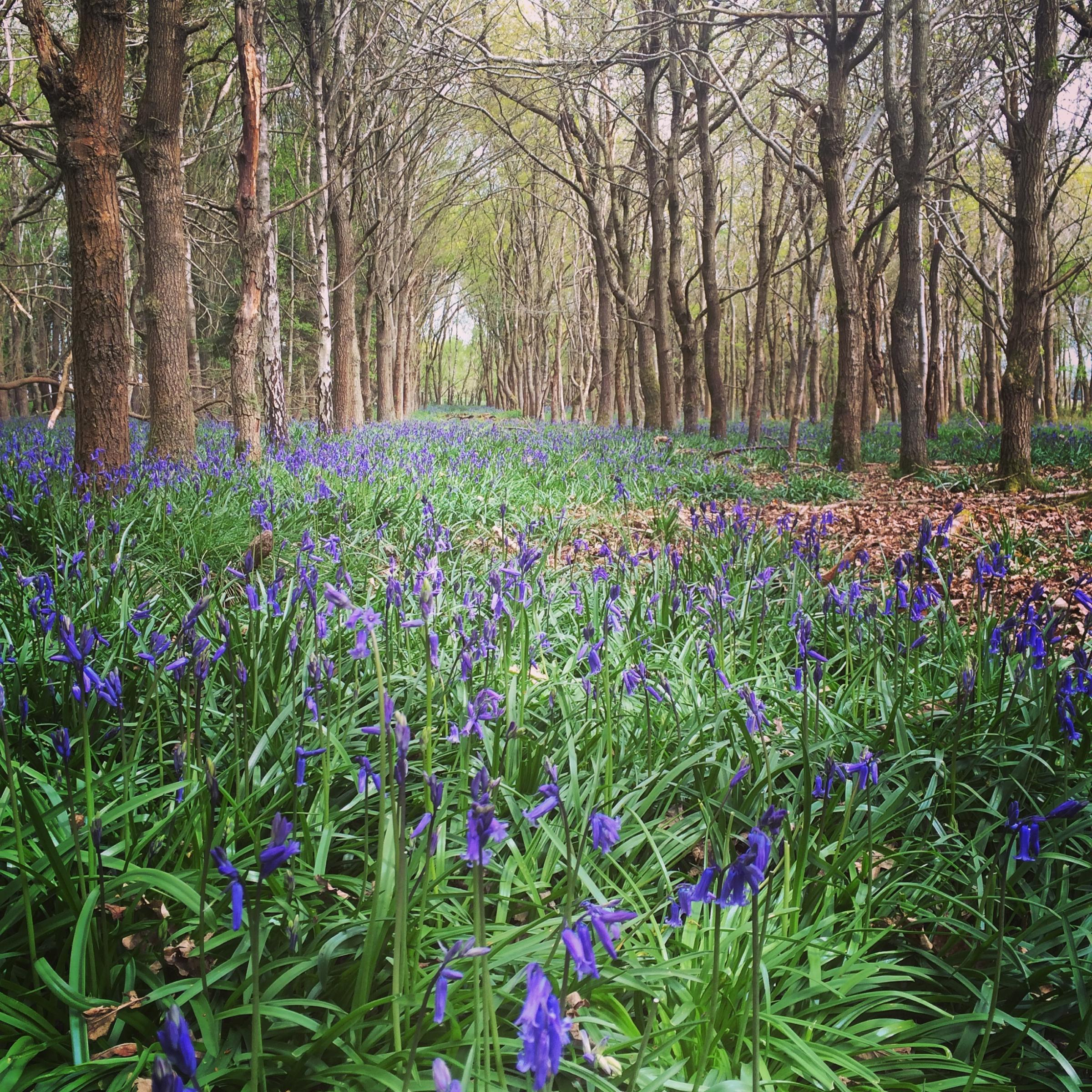 Venture through Ragley's Bluebell Woods this May